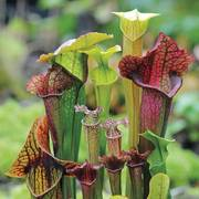 Webbed Goblets and Chalices Pitcher Plant Seeds image