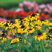 Kelvedon Star Rudbeckia Seeds image
