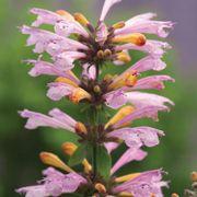 Arizona™ Sunset Hummingbird Mint Seeds Alternate Image 1