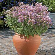 Arizona™ Sunset Hummingbird Mint Seeds Alternate Image 2