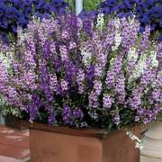 Angelonia Serena® Mix Seeds (P) Pkt of 10 seeds image