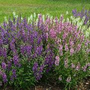 Angelonia Serena® Mix Seeds image