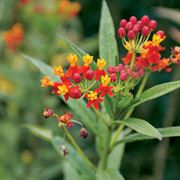 Tropical Butterfly Weed Seeds image