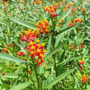 Tropical Butterfly Weed Seeds Alternate Image 1