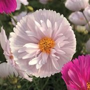 'Cupcakes and Saucers Mix' Cosmos Seeds (P)Pkt of 25 seeds Alternate Image 1