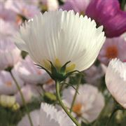 'Cupcakes and Saucers Mix' Cosmos Seeds (P)Pkt of 25 seeds Alternate Image 3
