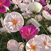 Cosmos Cupcakes and Saucers Mix  (P) Pkt of 25 seeds image