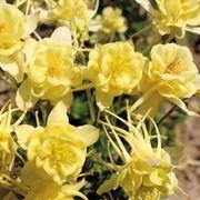 Sunshine™ Columbine Seeds image