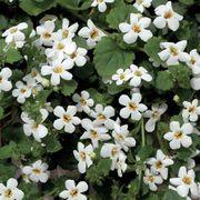 Snowtopia® Bacopa Seeds