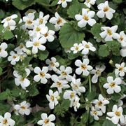 Snowtopia® Bacopa Seeds Pack of 100 image