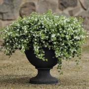 Snowtopia® Bacopa Seeds (P) Pkt of 10 seeds image