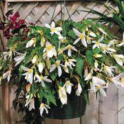 Santa Barbara Begonia Seeds