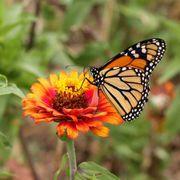 Monarch Butterfly Wildflower Mix Alternate Image 1