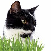 Cat Grass image