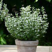 Marvelette White Calamint Seeds