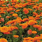 Mandarin Twist Pot Marigold Seeds