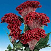 Bombay Dark Red Cockscomb Seeds