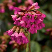 Shoeshine® Rose Bergenia Seeds image