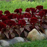 Dracula Celosia Seeds Alternate Image 2