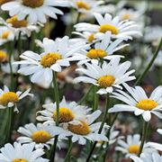 White Breeze Shasta Daisy Seeds image