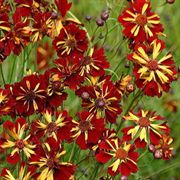 Roulette Mahogany-Yellow Coreopsis Flower Seeds