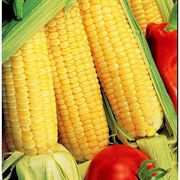 Sugar Buns Hybrid Corn Seeds