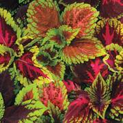 Kong Empire Mix Coleus Pelleted Seed