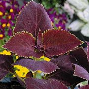 Magma Giant Exhibition Coleus Seeds image
