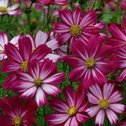 Peppermint Candy Cosmos Flower Seeds