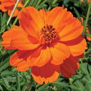 Towering Orange Cosmos Flower Seeds