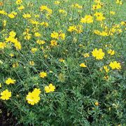 Towering Yellow Cosmos Flower Seeds