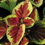 Versa Burgundy to Green Coleus Seeds