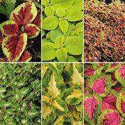 Versa Mix Coleus Seeds