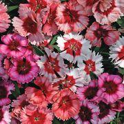 Super Parfait Mix Dianthus Seeds