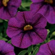 Kabloom® Deep Blue Calibrachoa Seeds