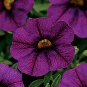 Kabloom® Deep Blue Calibrachoa Seeds