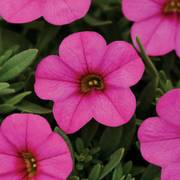 Kabloom® Deep Pink Calibrachoa Seeds