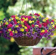 Paradise Island Calibrachoa Fuseables® Seeds (P) Pkt of 5 seeds image