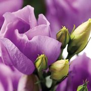 Charisma Lavender Lisianthus Seeds