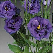 how to grow lisianthus plants