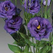 Charisma Blue Lisianthus Seeds image