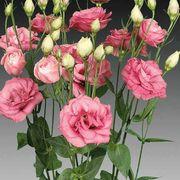 Charisma Rose Lisianthus Seeds