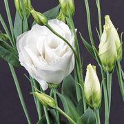 Charisma White Lisianthus Seeds image