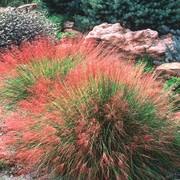 Undaunted Ruby Muhly Grass Seeds (P) Pkt of 15 seeds image