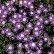Stardust Iceplant Seeds image