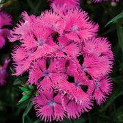Dianthus Rockin Purple image