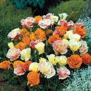Twister California Poppy Seeds