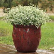 Glitz Euphorbia Seeds