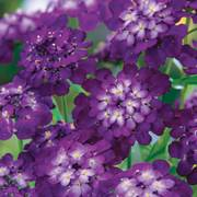 Purple Rain Candytuft Seeds image