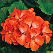 Pinto Premium Orange Geranium Seeds